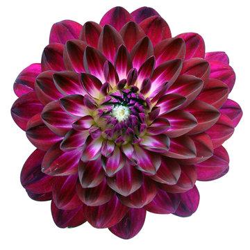Macro of purple flower aster