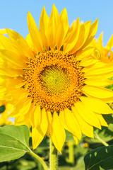 Sunny sunflower in a field, macro