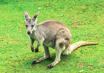 Kangaroo on grass closeup