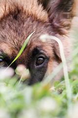 Bashful German Shepherd Dog