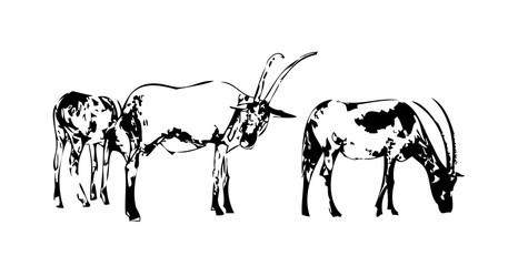Antelope isolated on white background