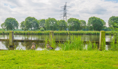 Egyptian geese along a canal in spring