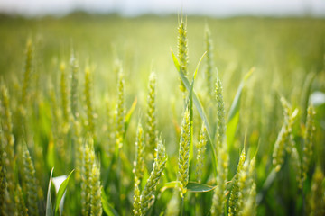biofuel; wheat field; wheat ear, Russia