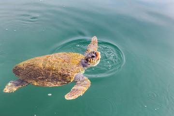 One big swimming sea turtle Caretta