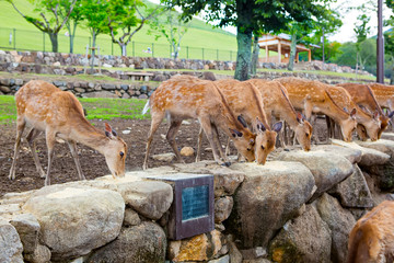 Many deers in Nara park, Japan. Holy animals