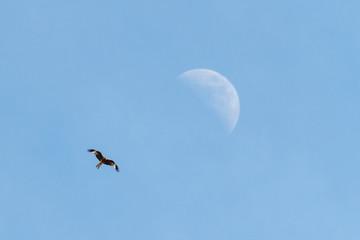 Milano Real en vuelo y luna. Milvus.