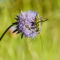Chicharra o Grillo verde, Ephippiger sp. sobre flor de  Succisa pratensis, Escabiosa mordida.