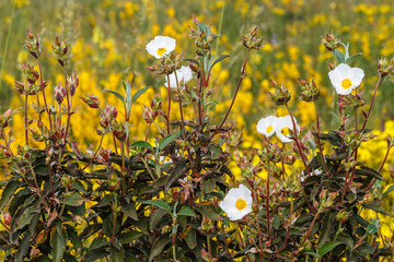 Estepa negral en flor. Jara. Cistus laurifolius.