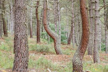 Bosque de Pino Negral. Pinus pinaster. Sierra de Casas Viejas, León.