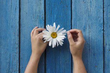 White camomile in the hands of