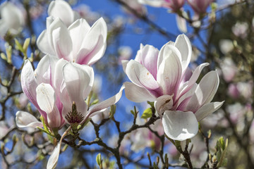 close up of magnolia blossoms in spring