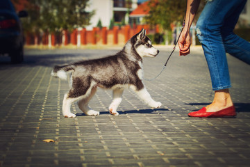 Portrait of a Siberian Husky puppy walking in the yard. One Little cute puppy of Siberian husky dog outdoors