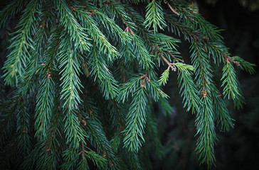 Green spruce branches with green needles