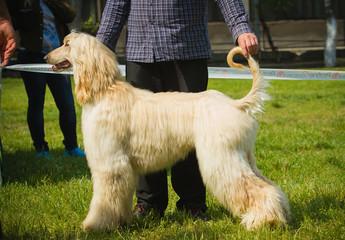 Afghan hound portrait.
