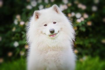 Portrait of Samoyed closeup. Sled dogs.