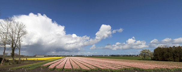 Panorama photo of a beautiful tulip field with a beautiful cloudy sky in spring