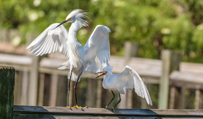 Two Small white Egrets on railing one behind other wings spread green foliage background