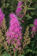 Rosa Säckelblume