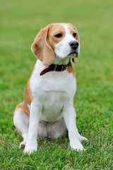 Close Beagle dog