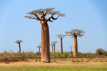 Beautiful Baobab trees (adansonia grandidieri) in the landscape of Madagascar