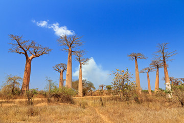 Beautiful Baobab trees in the landscape of Madagascar