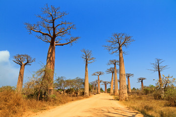 Beautiful Baobab trees at the avenue of the baobabs in Madagascar