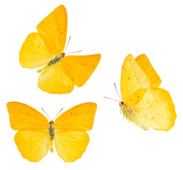 apricot sulphur butterfly