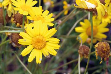 Magarza amarilla en flor, Sauceda, Hurdes, España