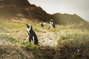 Small group of penguins on grassy beach