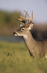 White-tailed Deer, Odocoileus virginianus, Buck, Choke Canyon State Park, Texas, USA, Oktober