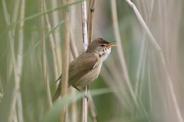 Fotoväggar - Reed warbler, Acrocephalus scirpaceus