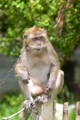 Monkey sitting on fence and looking for something