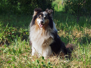 Portrait of beautiful sheltie dog on a natural background
