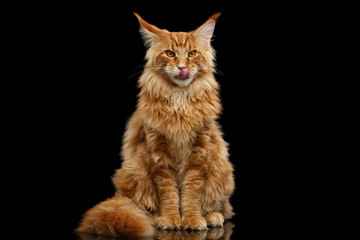 Foto op Plexiglas Kat Furry Red Maine Coon Cat Sitting and Lick Isolated on Black Background, Front view
