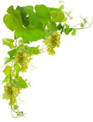 fond de vigne et raisins blancs