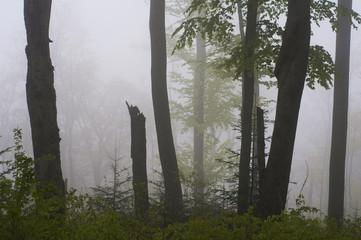 Fog - spring forest