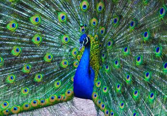 peacock. peafowl. Beautiful spread of a peacock. beautiful peaco
