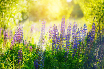 Poster de jardin Olive Violet lupines flowers over green background at summer day , out