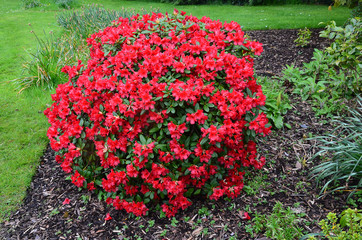 big bush of red flowering rhododendron in the garden