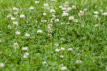 Nice green background with blooming clover, small white bloom, weed in lawn