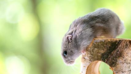 funny little hamster