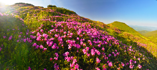 Rhododendron flowers in summer mountains