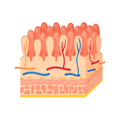 Intestinal wall anatomy
