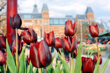 Tulpen vor Rijksmuseum in Amsterdam