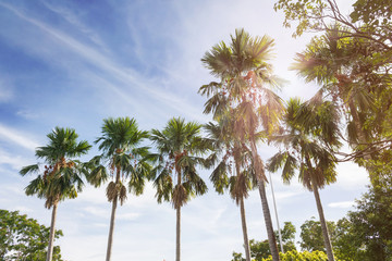 Nature background betel palm tree row in sunny puffy clouds blue sky, look up high to top of betel palm tree and sky