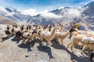 Llamas herd carrying heavy load, Bolivia mountains.