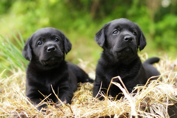 two beautiful purebred black puppy dog Labrador