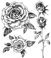 Fototapeta Flowers set. Hand drawn rose vector, etch style obraz