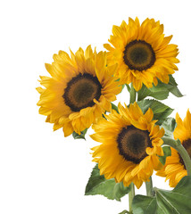 Group sunflower vertical isolated on white background as poster design element