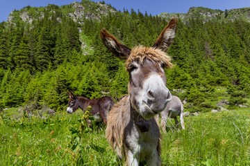Funny donkey portrait with mountain landscape in background